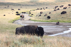 Bison in Yellowstone National Park, Wyoming