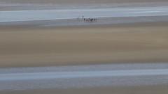 Marcheurs dans la baie du Mont Saint-Michel