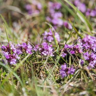 Фарерские цветы Faroese flowers