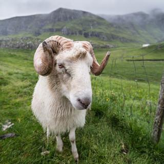 Один из самых многочисленных обитателей Фарерских островов One of the most numerous inhabitants of the Faroe