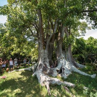 Деревья омбу́ – один из самых необычных видов деревьев. Ученые до сих пор спорят, дерево это или гигантский кустарник: огромные стволы высотой до 18 метров растут, подобно кусту; древесина омбу́ мягкая, губчатая и не имеет годовых колец (поэтому невозможно установить, сколько дереву лет), и способна удерживать огромное количество влаги. Если ствол сгнивает и падает, из нижней, общей части начинают расти новые побеги, вскоре становящиеся стволами – таким образом, многим из этих деревьев может быть даже тысяча или несколько тысяч лет...  Ombú trees are one of the strangest plant species on Earth. It is not clear for certain if they are trees or bush: trunks up to 18 metres in height grow from from a common root, and when they fall, new shoots start to grow up. Moreover, ombú wood is soft and porous, and has no year rings which makes impossible identification of the trees' age.