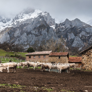 Коровы пасутся на фоне гор Пикос-де-Эуропа в деревне Могровехо Cows grazing against the wallof Picos de Europa mountains in Mogrovejo
