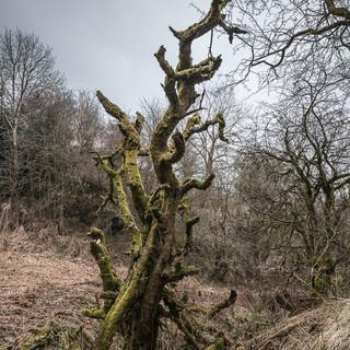Сухое дерево, немного напоминающее дракона из валлийских легенд A dead tree resembling vaguely a dragon from Welsh legends