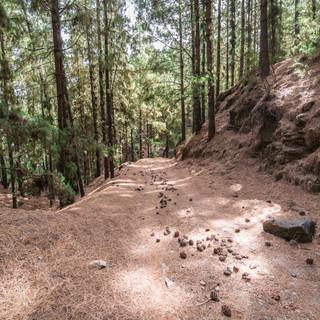 В горах на острове Санту-Антау можно оказаться в настоящем хвойном лесу  Real conifer forest in the mountains of Santo Antão island