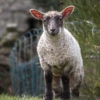 Овечка во внутреннем дворе замка Аск A sheep grazing in the inner ward of Usk Castle