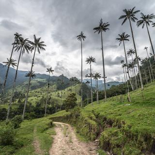 Восковые пальмы, эндемики долины Кокора. Восковая пальма достигает 60 метров в высоту и  изображена на гербе Колумбии. Wax palms, endemics of Cocora Valley. Wax palm could grow as high as 60 m tall, and is depicted in Colombian coat-of-arms