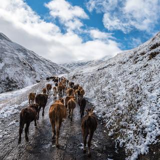 Горные коровы Mountain cows