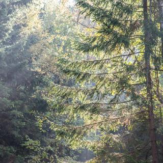 Солнечные лучи в лесу Sun rays penetrate into a forest