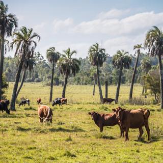 В Уругвае коровы встречаются повсеместно  In Uruguay, cows are everywhere