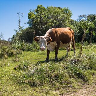 """Коровы – возможно, самое важное """"национальное сокровище"""" Уругвая. При населении 3 млн жителей в стране более 10 млн коров – племенных пород, дающих лучшее мясо в мире  Cows probably are the most important 'national treasure' of Uruguay. With only 3 millions of inhabitants the country hosts more than 10 millions of cows producing the best meat in the world"""