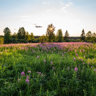 Иван-чай на берегу Онеги, Архангельская область  Sally-bloom flowers at the bank of Onega river, Arkhangelsk region