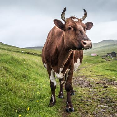 Одинокая корова, остров Мичинес A lonesome cow, Mykines island