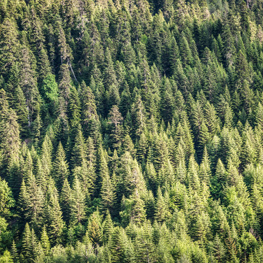 Еловая текстура склона Spruce texture of a slope