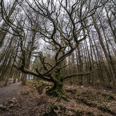 Кельтский лес, Истрадвельте Celtic forest near Ystradfellte