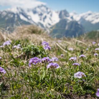 Горные цветы Mountain flowers
