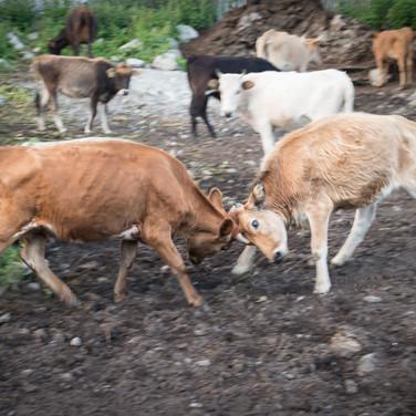 Сваны всегда считались гордым и воинственными народом. Их коровы тоже не отстают. Svans are regarded as a proud and warlike people. Their cows seem to be the same)