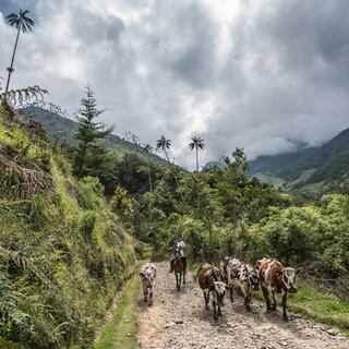 Юный пастух гонит коров в долине Кокора, центральная Колумбия A young shepherd drives cows in Cocora Valley, central Colombia
