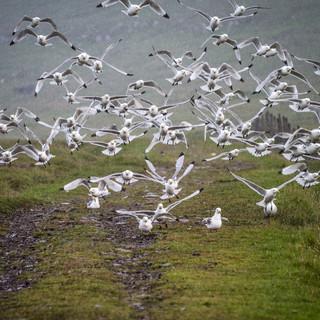 Взлетабщие чайки под дождем, остров Мичинес Seagulls get airborne, Mykines island