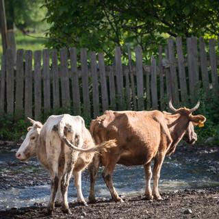 В деревнях Сванетии всюду встречаются коровы Cows are everywhere in villages of Svaneti