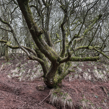 Лес на склонах горы Скиррид Forest on the slopes of the Skirrid
