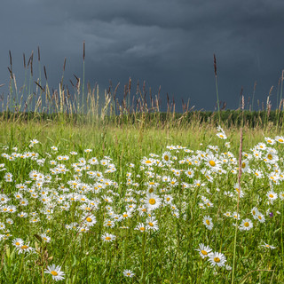 Ромашковое поле и грозовое небо A field covered with camomiles, and stormy sky