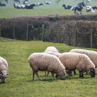 Пасущиеся овцы около замка Уайт Sheep grazing near White Castle