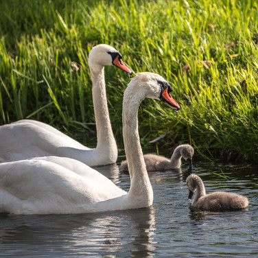 Лебеди, Гросс Раден Swans at Groß Raden