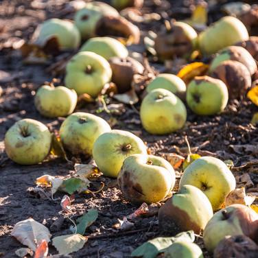 Последние дни урожая, начало октября Late fruit, early October