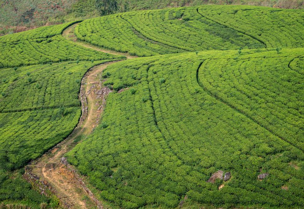 Чайные плантации  Tea plantations