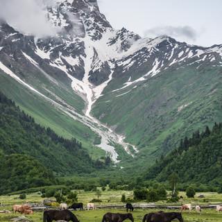 Лошади, коровы и гора Ушба Horses, cows, and Ushba mountains
