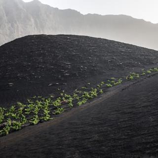 Виноградная лоза хорошо растет на вулканическом пепле, кальдера Фогу  Vines thrive in volcanic ash soils, Fogo caldera