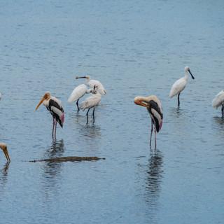 Водные птицы и тайный крокодил, национальный парк Бундала  Waterfowl and a secret crocodile, Bundala National Park