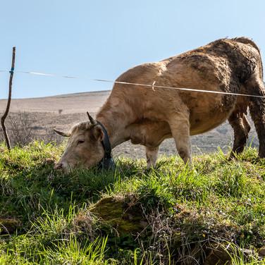 Местная порода коров, называемая Туданка по названию деревни Туданка Vaca Tudanca, local cow breed, named after the village of Tudanca