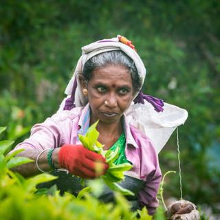 Сборщица чая. Чайные листья собирают исключительно женщины, этнически все они – потомки привезенных англичанами в 19 веке тамилов. Работа адская, приходится весь день стоять на склоне (иногда весьма крутом), веточки чайных кустов впиваются в тело, а дневная норма сборщицы, как правило – 2 мешка по 10 кг листьев  Tea picker. Picking tea leaves is exclusively women's occupation. They are descendants of Indian Tamils, brought by the British into Sri Lanka's hill country in the 19th century. The work is extremely hard: standing all day long on slopes (sometimes steep enough), being pricked by twigs, and the day's quota of a picker is 2 bags of leaves 10 kilos each