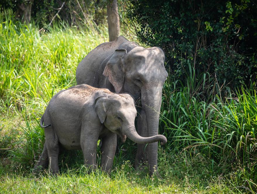 Слониха со слоненком, национальный парк Бундала  A female elephant with a calf, Bundala national park