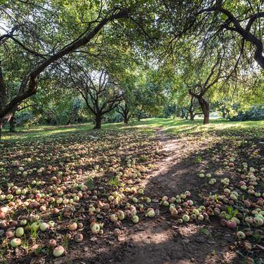 Яблоки созрели, август Summer fruiting in August