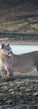 Puma 3 - baja.jpg