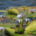water-lily-265978_1920.jpg