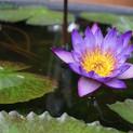 lotus-flowers-aquatic-plants-nature-land