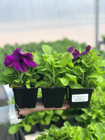 выращиваем цветы