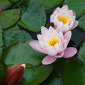 water-nature-plant-flower-petal-pond-bot