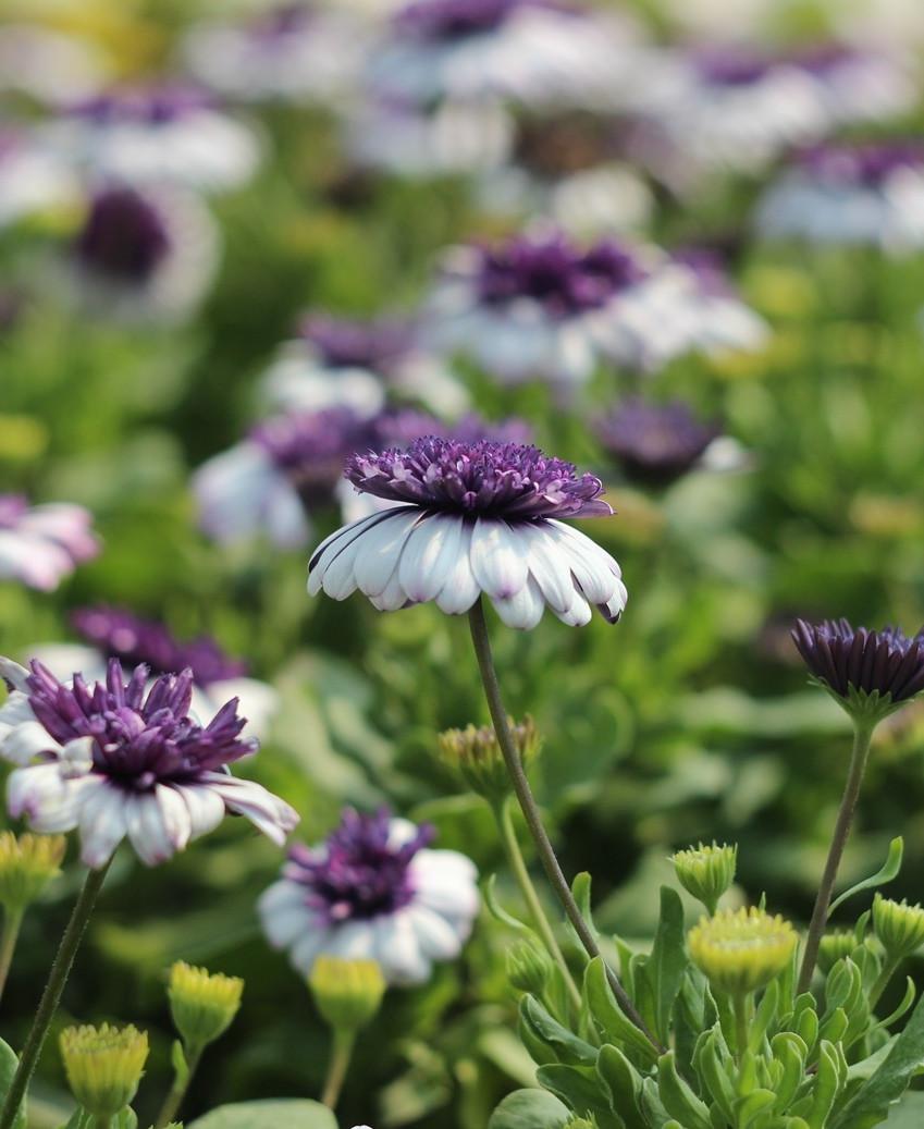 однолетние цветы