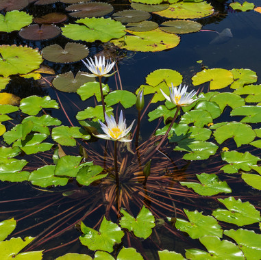 plant-leaf-flower-petal-pond-green-botan