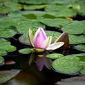 aquatic-plants-3244854__480.jpg