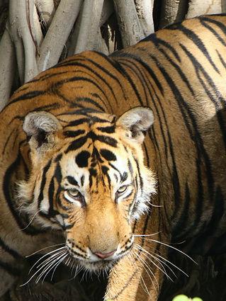 Ranthambhore tiger