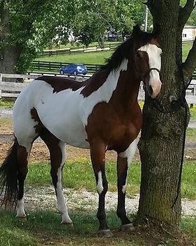 Lola - Registered Paint mare, 8 years ol