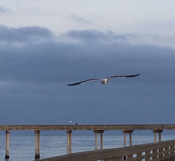 Pic Seagull