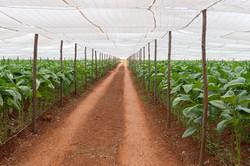 Cigar Tobacco Plantation