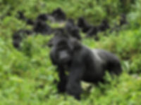 silverback-gorilla.jpg