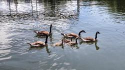 Ducks enjoying AHM